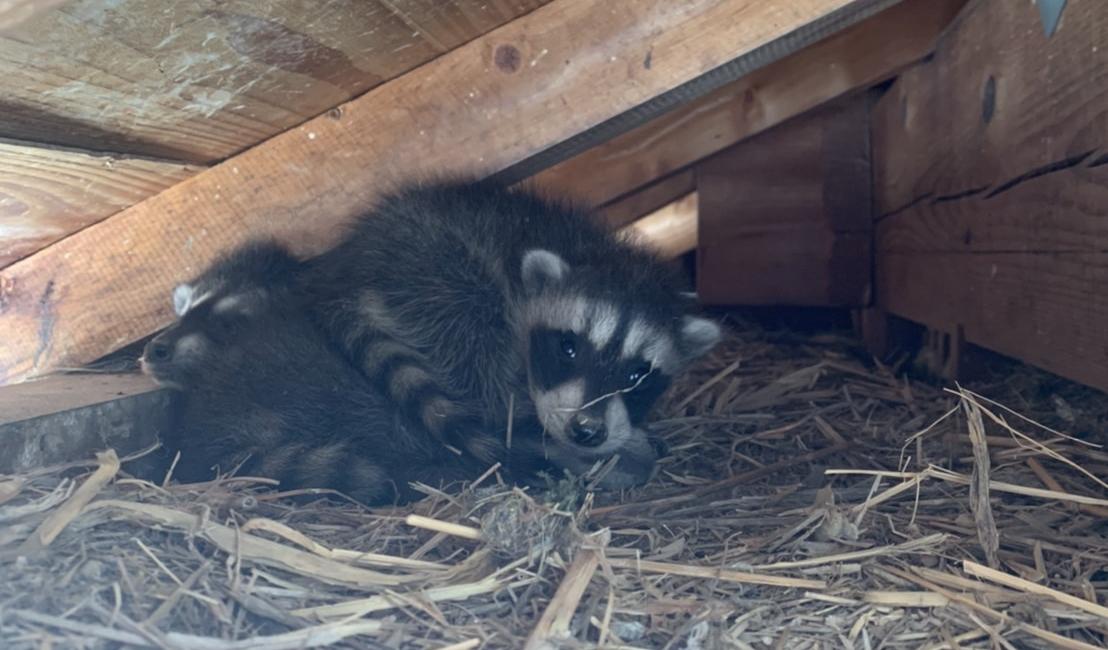 アライグマやハクビシンは、繁殖時期になると屋根裏に子供を産む習性があります。